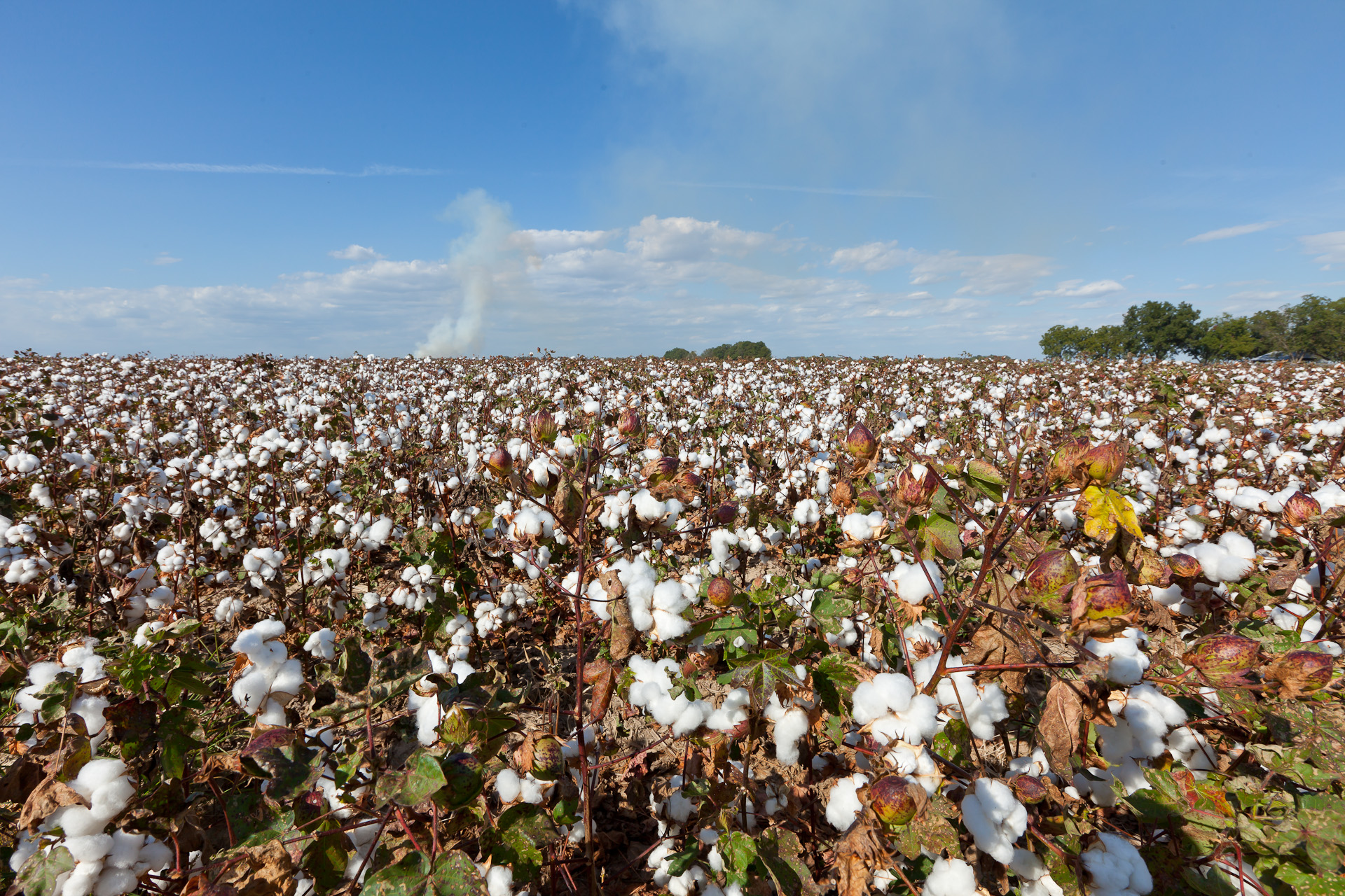 Cotton ready to harvest and smoke from burning rice stubble in the background.